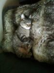 Neutered Male tabby cat lost, castletreasure/ douglas area