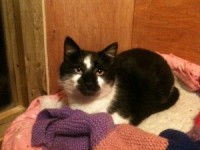 Black and white cat found in Macroom