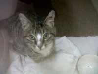 Young tabby cat found in Rathcormac