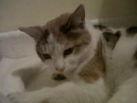 Found cat castlemartyr