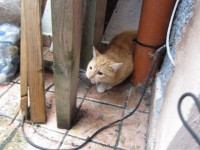 Found Ginger Cat Greenmount area