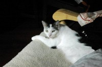 Male white/grey cat missing from Old Blackrock Road