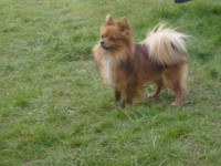 Long-haired Chihuahua lost in Donnybrook