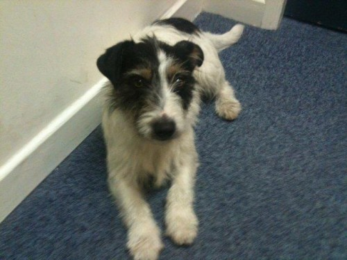 Wire-haired terrier found in UCC - Munster Lost and Found ...