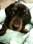 Daschund missing from Pilmore, Youghal