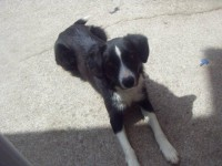 Black/white Collie missing from Glanmire