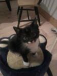 Black and white kitten lost in Ballincollig