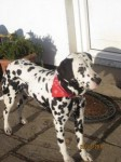 Dalmation lost in Donoughmore