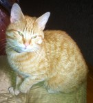 Male ginger cat found in Douglas, Cork