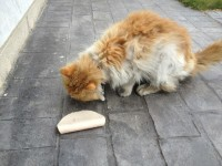 Male foxy and white long haired cat