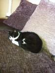 Male black & White Cat – 3 legged – Pearsons Bridge