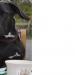 Adela, Female black Labrador X lost in Caherdaniel, Kerry
