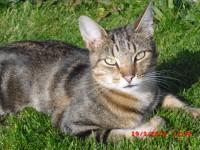 Billy (Male Tabby Cat)