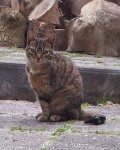 Tabby Female Cat Lost