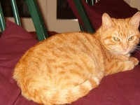 Female marmalade cat lost near St Luke's, Cork