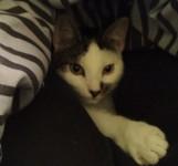 Black & White Tabby Lost in Blackrock / Skehard Road Area