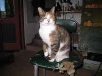 Tortoiseshell female cat lost in the Borlin Bantry area