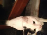 Male young cat found in Castlerock. Midleton.