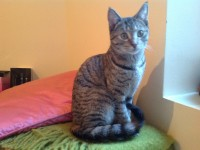 Female brown/grey stripped tammy cat. Under one year old (estimated). Found in Cork City