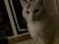 White female cat lost in Kilbrittain, Co, Cork