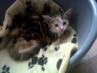 Female kitten lost on Shandon Street.