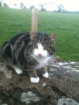 Male Tabby found on model farm road Cork