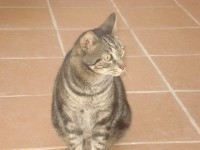 MALE  TABBY CAT LOST BALLINCOLLIG