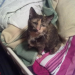 Beautiful lost female tortieshell missing from lisselton co.kerry