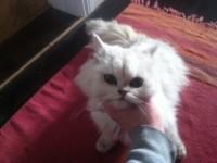 Found Persian Cat – Kilmurry/Lissarda