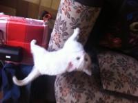 white kitten found in inniscarra area