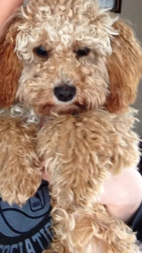 Small brown curly haired cavalier x poodle mix dog missing in the