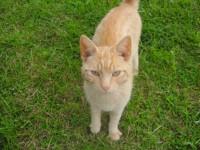Ginger Cat Found