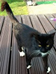 Black male cat, with white paws/whiskers found in Kinsale area