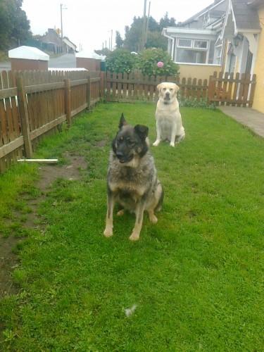 Dog Collar Tags German Shepard