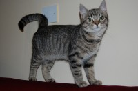 tabby 5months old cat lost in st lukes, cork