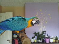 Blue and Gold Macaw Parrot Lost in Blarney