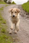 Male wheaten terrier strayed/stolen Upper Glanmire/White's Cross