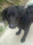 Reward Offered – Black male Labrador missing