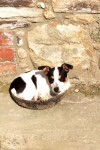 Male Miniature Jack Russell lost in Woodstown, Waterford near Dunmore East