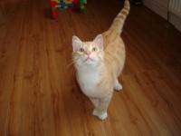 Ginger male kitten found.
