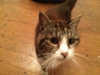 Female Cat Fermoy 4 Years old