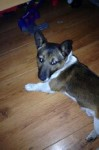 Male Jack Russell stolen/missing from dublin rd/clare st area Limerick