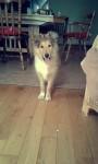 Lost collie puppy (5months) in Kiskeam co.cork