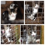 Grey/white kitten found in glanmire