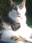 Mitzy. 5 yr old female white cat with black & grey markings. From bandon rd, lough area