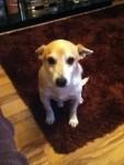 Male jack russell terrier lost in waterfall Cork
