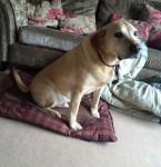 Male Golden Labrador lost in Ballincollig