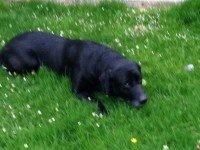 Lost Black Labrador in Rochestown