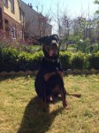 Female Rottweiler Puppy in Limerick City Centre