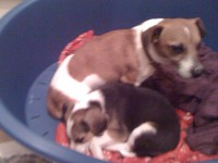 Male Jack Russell Terrier missing from Ballinora/Waterfall area